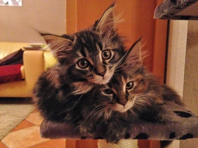 Two cuddly Maine Coon kittens