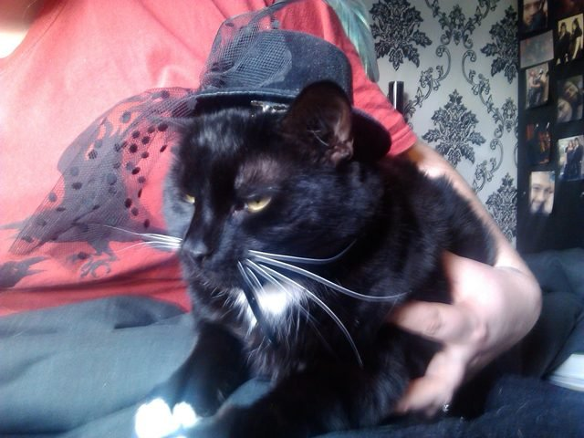 Disgruntled cat wearing black hat with veil.
