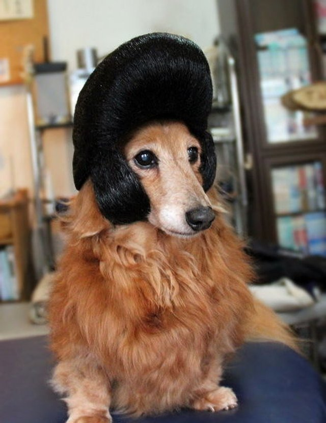 Dog in Elvis wig