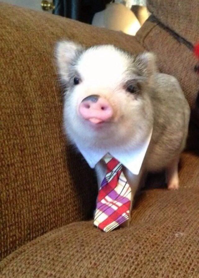 Piglet in a necktie and shirt collar.