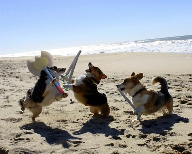 Corgis wearing fake armor play fighting on a beach.