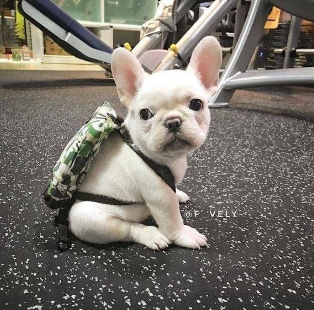 Puppy wearing a backpack in a gym.