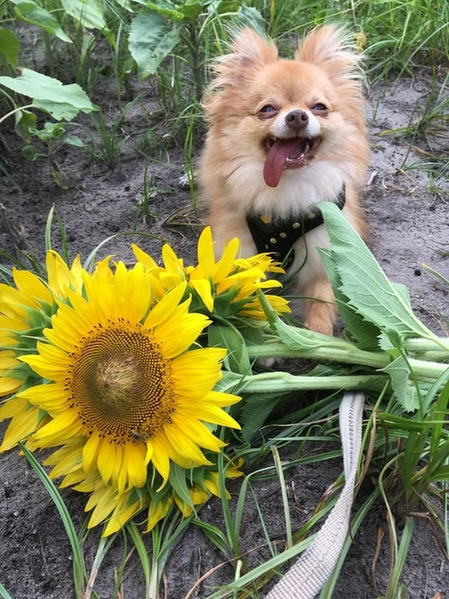 Dog looking happy next to sunflowers.