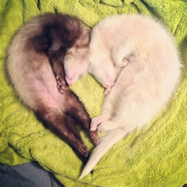 Two sleeping ferrets curled in a heart shape.