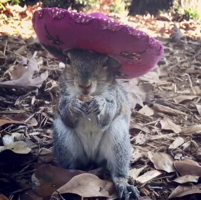 Squirrel wearing pink sombrero.