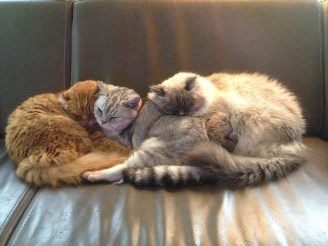 Three cats sleeping huddled together.