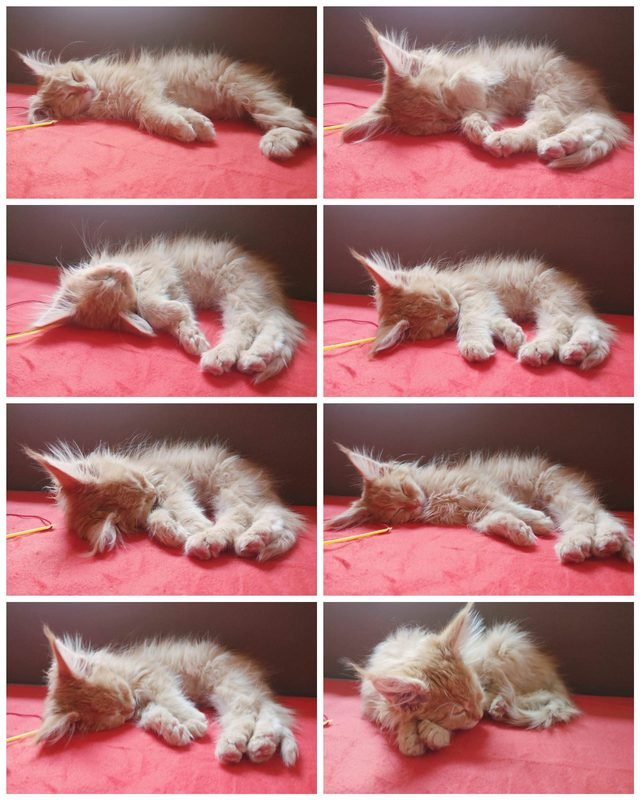 Maine Coon kitten sleeping