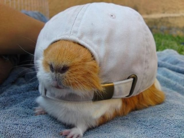 Guinea pig with human-sized baseball hat covering its eyes.