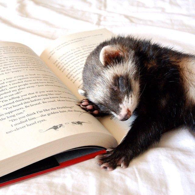 Ferret sleeping on an open book.