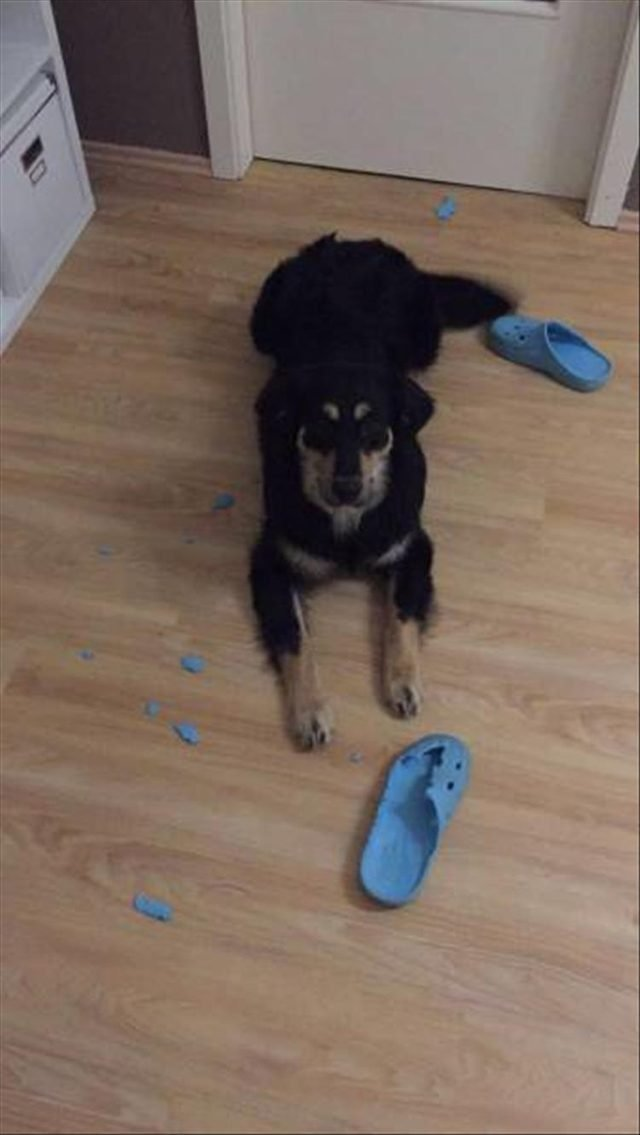 Dog ate Crocs