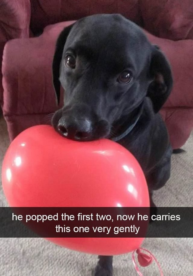 Dog very gently holding balloon in his mouth.