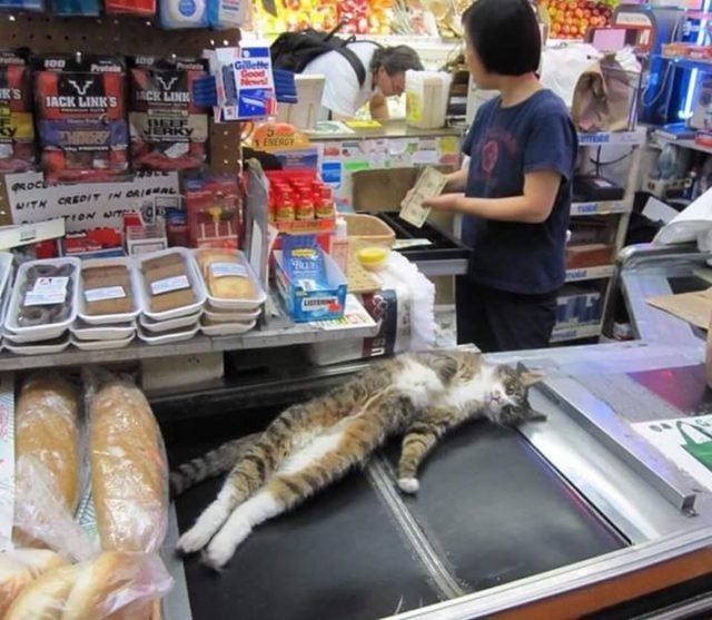 lazy bodega cat