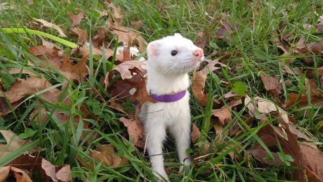 Ferret wearing a purple collar standing in grass and leaves.