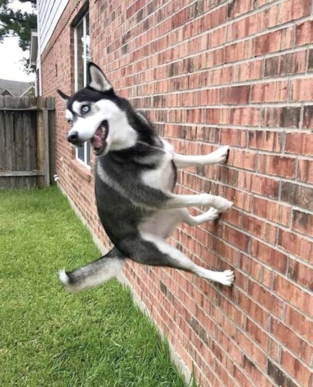 Dog is standing on a brick wall. Like, where is gravity?