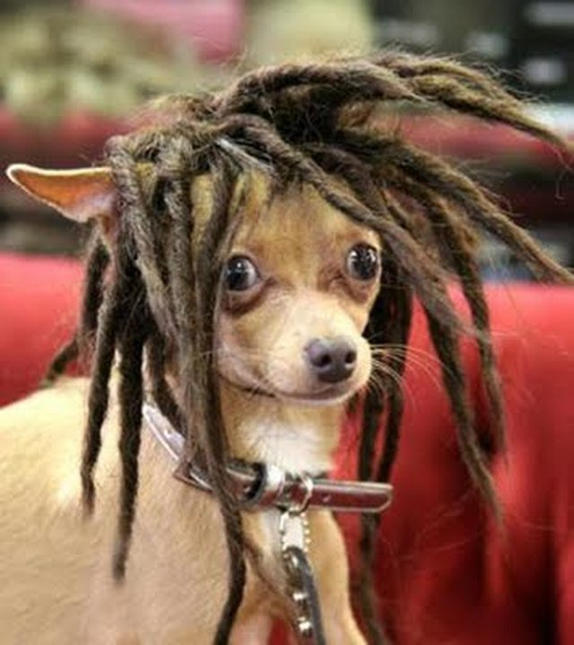 Chihuahua with dreads