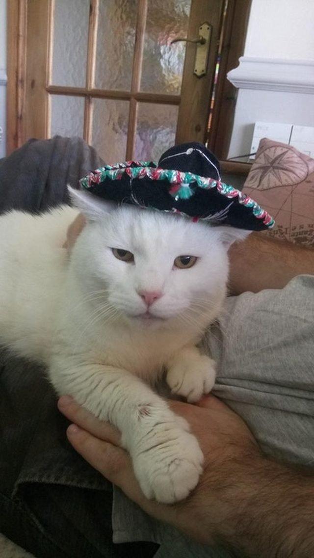 Cat wearing sombrero.