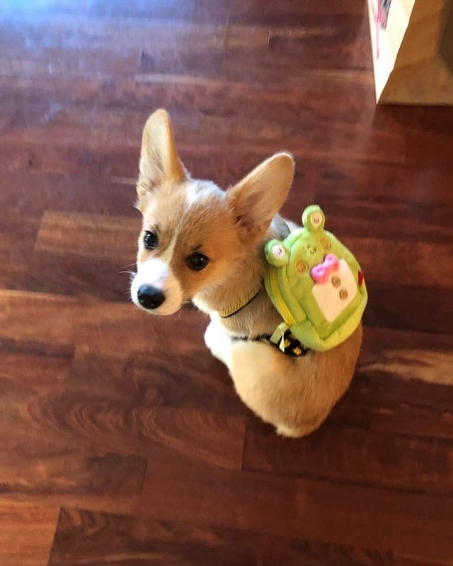 Puppy wearing a backpack.