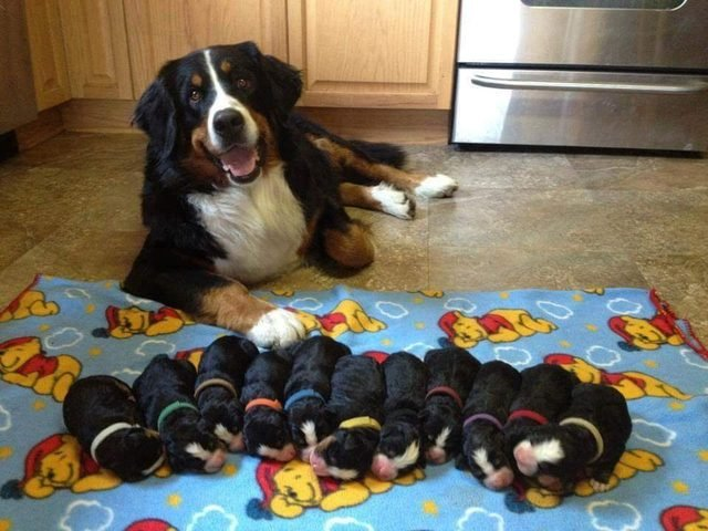 Bernese Mountain Dog with eleven newborn puppies.