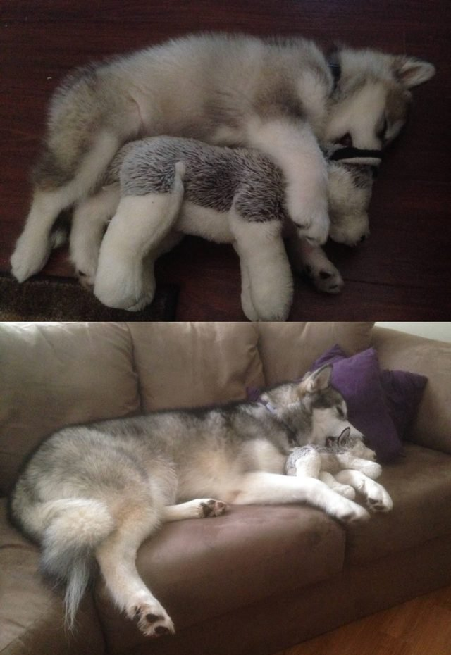 Side by side photos of dog with stuffed animal as a puppy and as an adult.