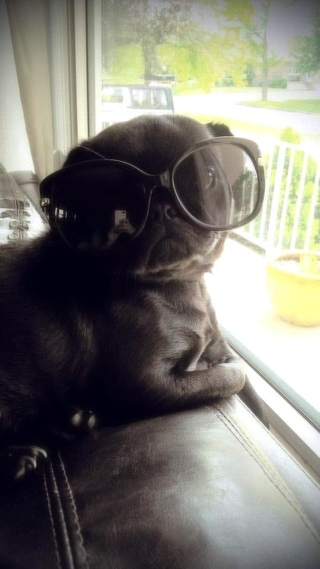 Pug pup in sunglasses