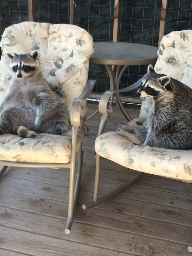20 chubby raccoons eating all the foods