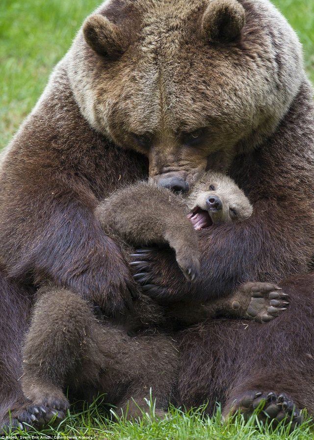 Grizzly bear nuzzling bear cub.