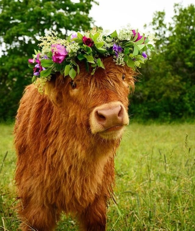 Cow wearing a flower crown.