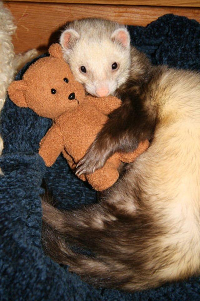 Ferret cuddling a miniature teddy bear.