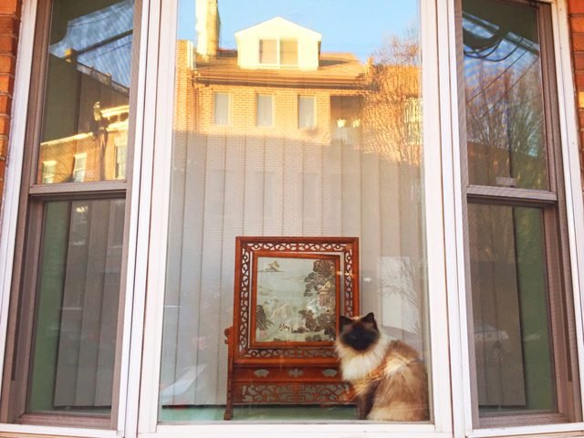 Rag doll cat in a window with a fancy painting.