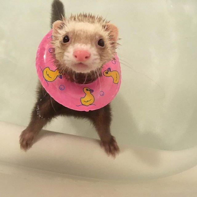 Ferret in a bathtub wearing a miniature inner tube.