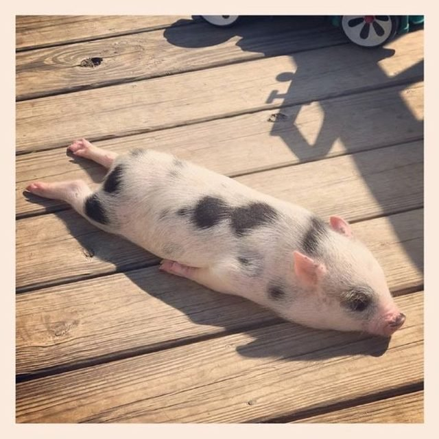 Piglet with its legs stretched out behind it.