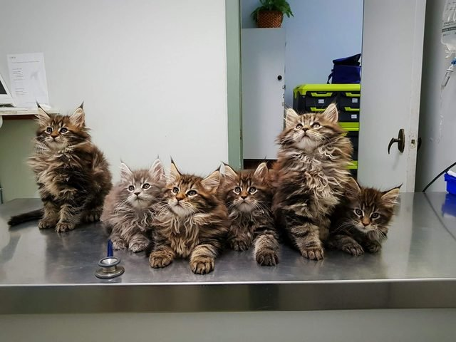 Six Maine Coon kittens in a row