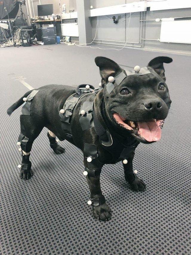 Dog wearing motion capture suit.