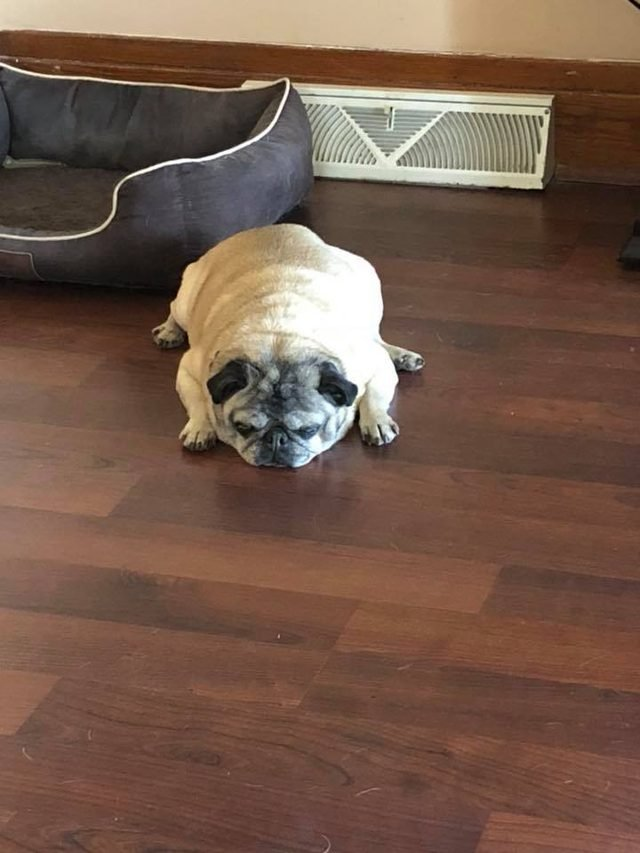 A very tired pug