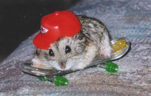 Hamster wearing a miniature baseball hat on a miniature skateboard.
