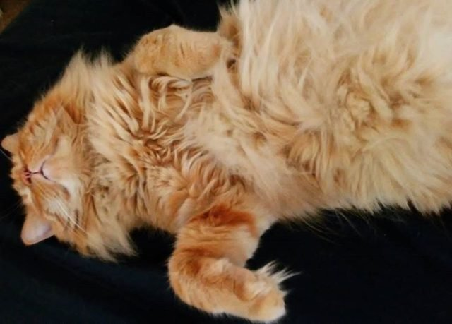 Extremely fluffy cat