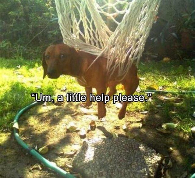 Dog tangled up in hammock