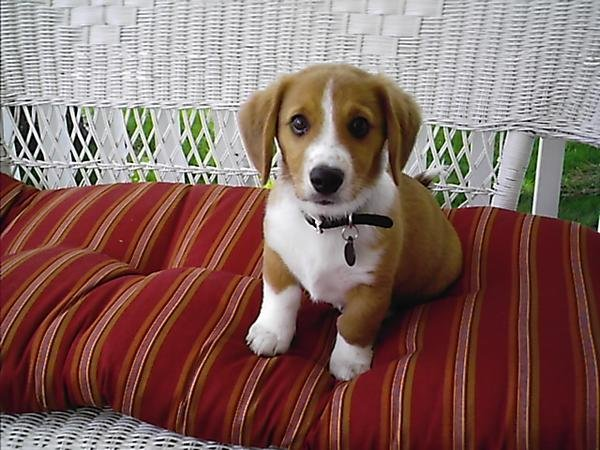 corgi-beagle-mix-puppy