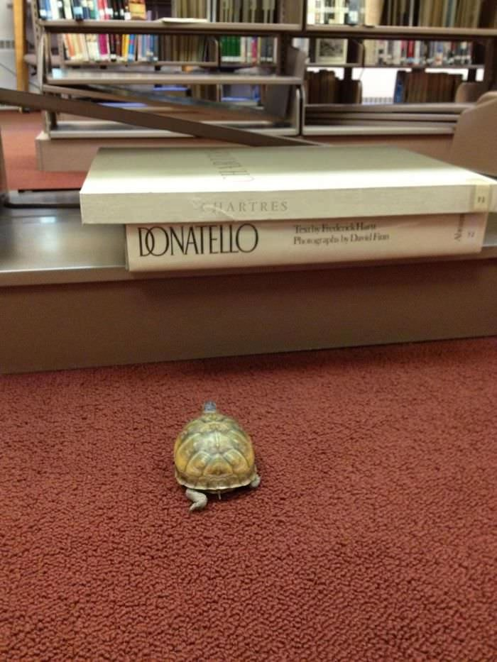 My Wife Is A High School Librarian And One Of Her Students Lost A Turtle In The Library Earlier In The Week. Today He Was Found. She Swears This Picture Wasn