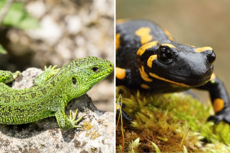 Lizard-Vs-Salamander