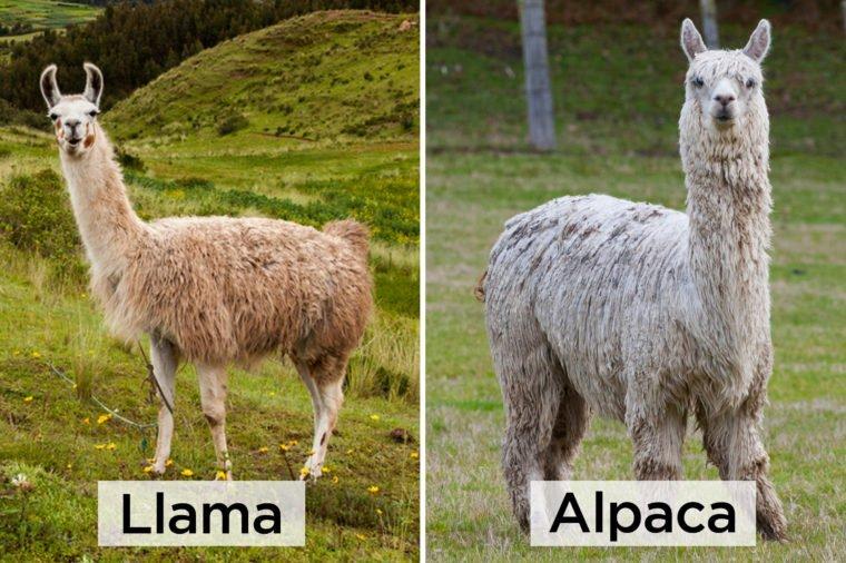 Llama-vs-Alpaca