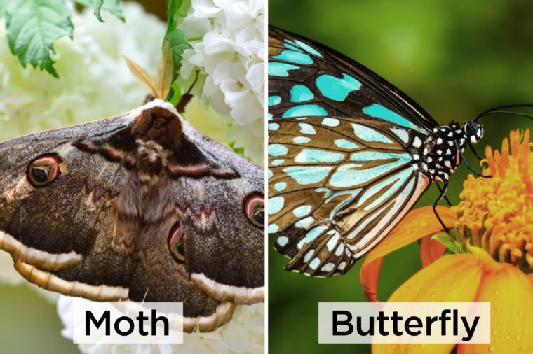 Moth-vs-butterfly