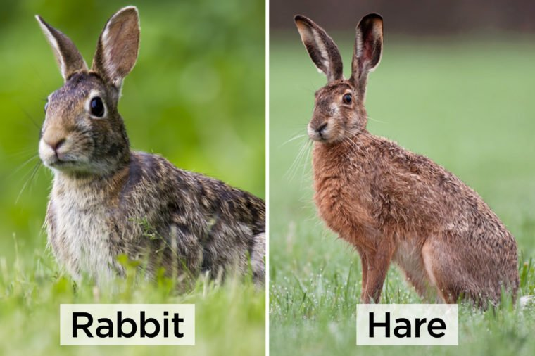 Rabbit-vs-hare