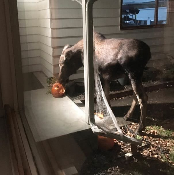 My Halloween Decorations Got Eaten By A Moose This Morning