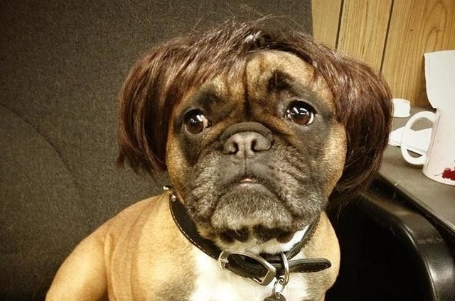 Dog in a short brunette wig