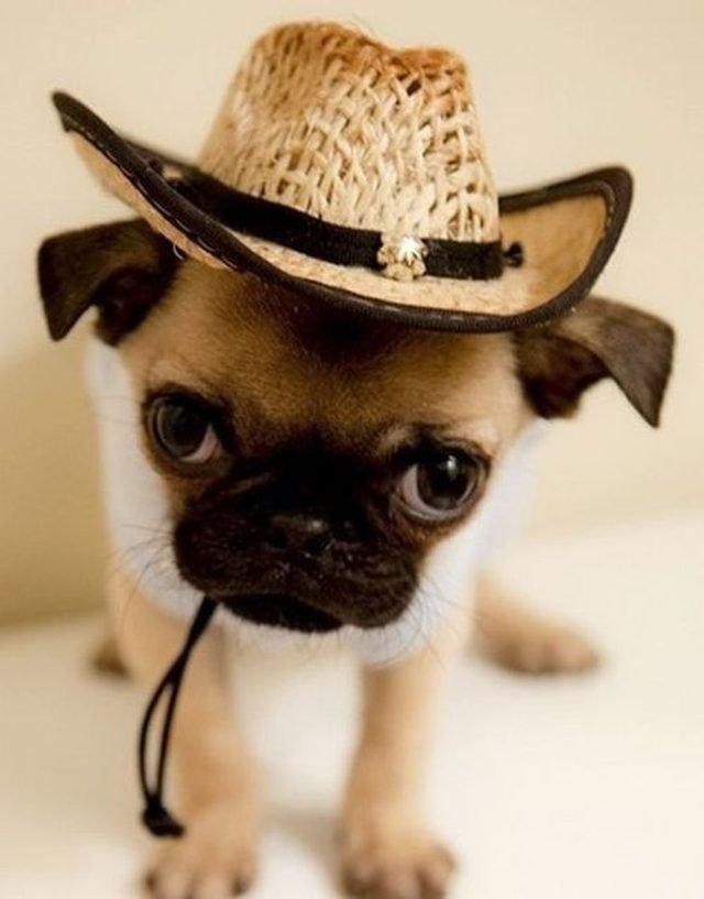 Pug wearing straw stetson