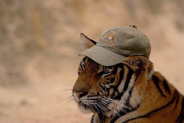 Tiger wearing baseball hat.