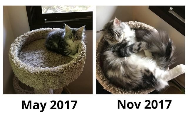 Side-by-side photos of Maine Coon cat as a kitten and then six months later