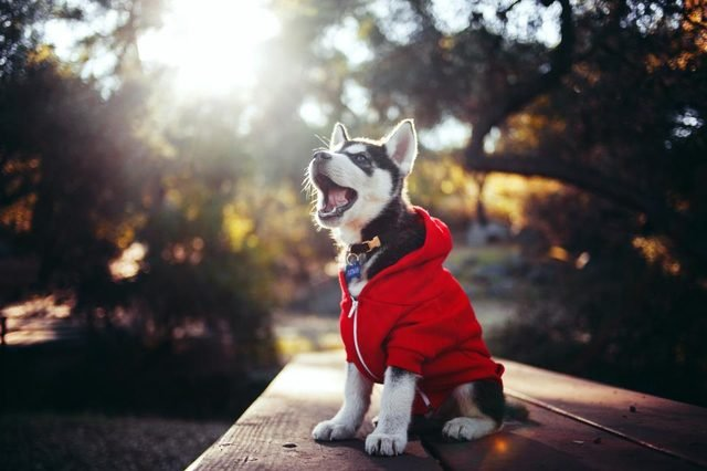 Puppy in red hoodie