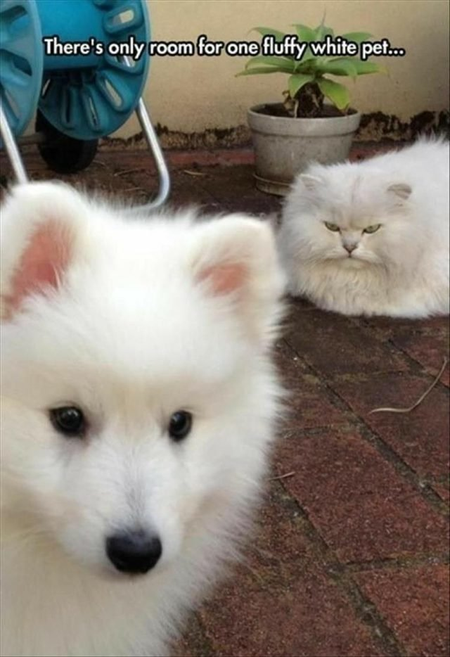 Big fluffy white cat looking at white fluffy puppy all mad